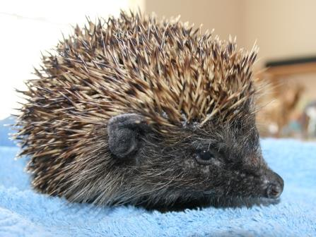 Amazing Animal of the Month: Barstool the Hedgehog - Good News Shared | Good News Shared