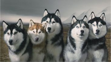 Siberian Huskeys Wallpaper